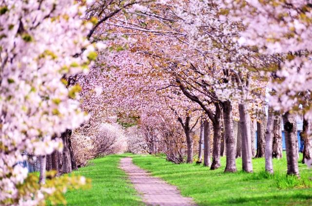 トレーニング後にちょっと桜を見に展勝地へ